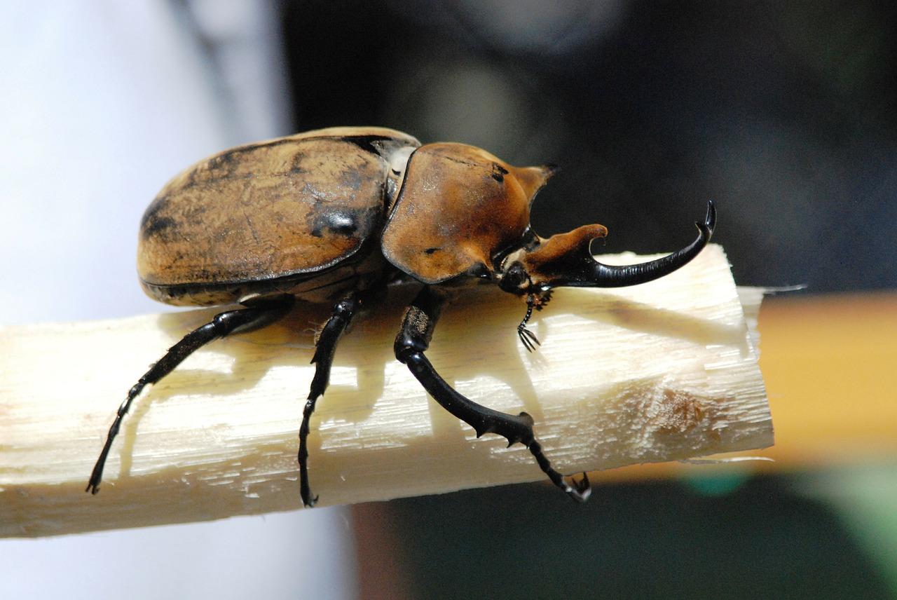 カブトムシの幼虫を産卵からより効率良く確保する為に